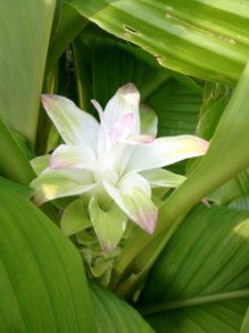 ウコンの花(白)
